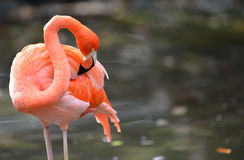 Flamingo cleaning itself. A beautiful flamingo (Phoenicopterus ruber) cleans itself in the water in late afternoon sunlight Stock Photography
