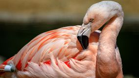 Flamingo cleans his feathers at the San Francisco Zoo. On a bright sunny day royalty free stock photos