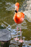 Flamingo close to bridge Stock Photos