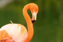 Flamingo close-up Stock Images
