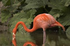 Flamingo Close Up. This image was captured at Dudley Zoo, England, UK Royalty Free Stock Images
