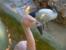 A Flamingo - Rare Pink Bird Stock Image