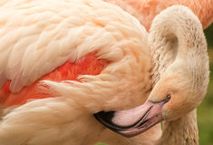 Free Flamingo Close Up Stock Photography - 72616232
