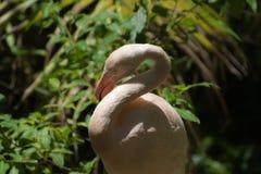Flamingo. Close up of flamingo body Stock Photo