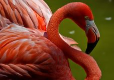 Flamingo close up royalty free stock photos