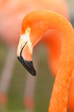 Flamingo close-up head shot Stock Photo