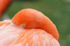 Flamingo close-up. An orange color head shot of a close-up flamingo at with a blurred background in a nature natural background Stock Photo
