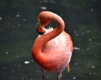 Flamingo. A close up shot of the Flamingo Royalty Free Stock Photography