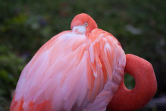 Flamingo. Close up shot of  flamingo portrait Royalty Free Stock Photos