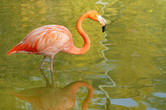 Flamingo. The close-up of flamingo in water royalty free stock photo