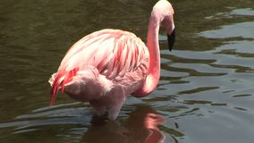 Flamingo close up in the water stock video