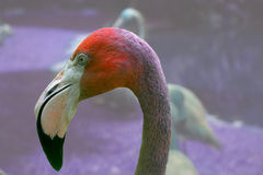Flamingo Closeup. Closeup of Flamingo, with brilliant colors, shallow depth of field royalty free stock images