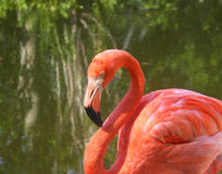 Flamingo Closeup. Close-up of flamingo, with deep pink feathers, shallow depth of field showing reflection of trees stock photo