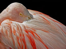Flamingo closeup Royalty Free Stock Photography