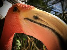 Flamingo. Closeup picture of beautiful flamingo head. Looking straight to your eyes Royalty Free Stock Image