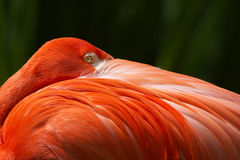 Flamingo closeup portrait hidden beak Royalty Free Stock Photos