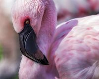 Flamingo. Closeup portrait of a flamingo with pink feathers, brown eye and black beak Stock Photos