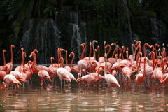 Flamingo com cachoeira foto de stock royalty free