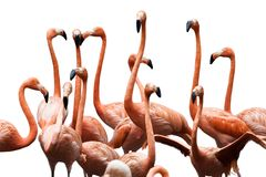 Flamingo Conference. A group of Flamingos isolated on white background Stock Image