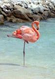 Flamingo cor-de-rosa Imagem de Stock Royalty Free
