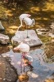 Flamingo cor-de-rosa Fotos de Stock Royalty Free