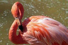Flamingo cor-de-rosa Imagens de Stock
