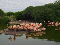 Flamingo cor-de-rosa Fotografia de Stock