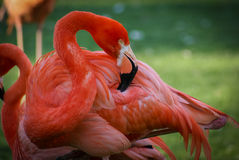 Flamingo cor-de-rosa brilhante no fundo verde Foto de Stock