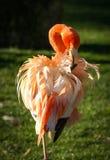 Flamingo cor-de-rosa brilhante no fundo verde Imagens de Stock