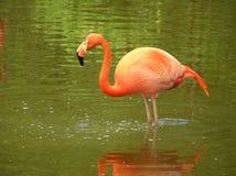 Flamingo cor-de-rosa no rio Fotos de Stock