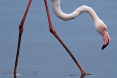 Flamingo cor-de-rosa Phoenicopterus que vadeia nas águas pouco profundas perto do porto do sanduíche, Namíbia fotografia de stock royalty free