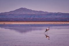Flamingo cor-de-rosa que anda através da água pouco profunda foto de stock