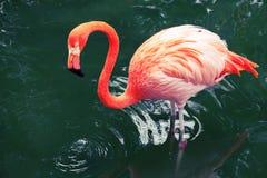 Flamingo cor-de-rosa que anda na água com reflexões Imagens de Stock Royalty Free