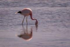 Flamingo cor-de-rosa que vadeia na alimentação da água pouco profunda fotografia de stock