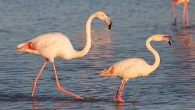 Flamingo couple, Camargue, France Royalty Free Stock Photos