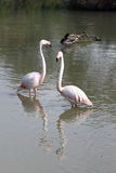 Flamingo couple in the french Camargue royalty free stock images