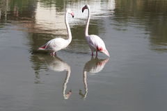 Flamingo couple in the french Camargue region royalty free stock photo
