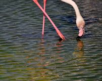 Flamingo with crossed legs drinking water with pink black beak. Flamingo with crossed pink legs with pink black pink-black beak and white feathered neck and Stock Image