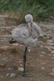 Flamingo cubano Imagens de Stock
