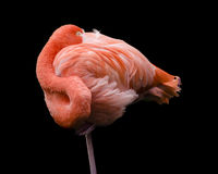 Flamingo curled into ball sleeping Stock Images