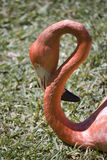 Flamingo with curved neck Royalty Free Stock Images