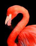 flamingo czarnego Obraz Royalty Free