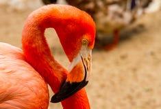 Flamingo das caraíbas Imagens de Stock Royalty Free