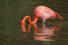 Flamingo das caraíbas foto de stock royalty free