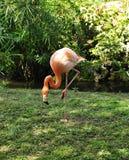 Flamingo de alimentação foto de stock royalty free