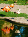 Flamingo de Caraïben en flamingo Chileense Phoenicopterus ruber et Phoenicopterus-chilensis Stock Foto