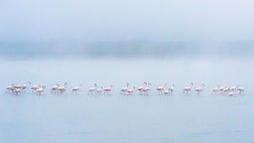 Flamingo in de Mist Stock Afbeeldingen
