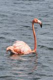 Flamingo in Deep Water Royalty Free Stock Images