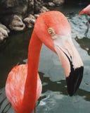 Flamingo delicado Imagens de Stock