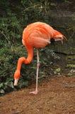 Flamingo, der auf einem Fahrwerkbein steht Lizenzfreie Stockfotos